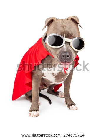 Funny Pit Bull dog wearing a red cape and goggles dressed as a super hero character - stock photo
