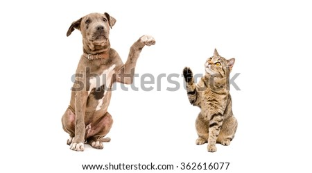 Funny Pitbull puppy and a cat Scottish Straight isolated on white background