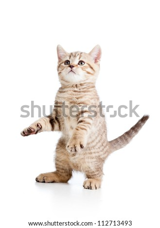 Funny playful cat isolated on white background