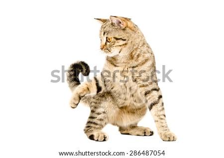 Funny playful cat Scottish Straight isolated on white background - stock photo