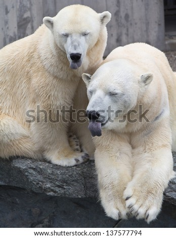 Funny polar bears lolling out - stock photo