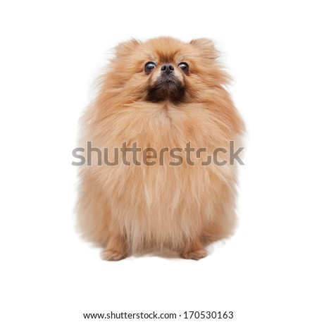funny pomeranian isolated on a white background in soft focus