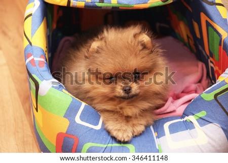 Funny pomeranian spitz puppy. Pomeranian dog. Little puppy - stock photo