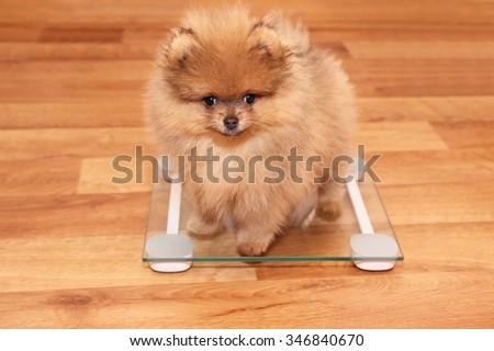 Funny pomeranian spitz puppy. Pomeranian dog. Little puppy.  - stock photo