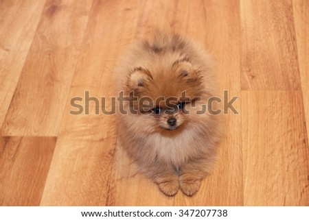 Funny pomeranian spitz puppy. Pomeranian dog. Little puppy - stock photo