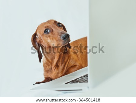Funny portrait of a dog looking with suspicion or irony at camera with a laptop shot on white