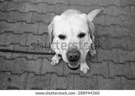 Funny portrait of a labrador dog in black and white - stock photo