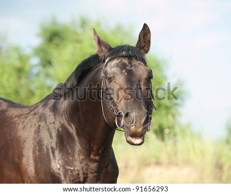 funny portrait of beautiful black horse in field