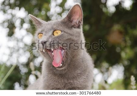 Funny portrait of gray cat yawning - stock photo
