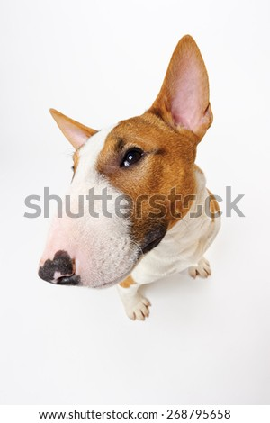 Funny portrait of sitting dog breed bull terrier isolated on white background - stock photo