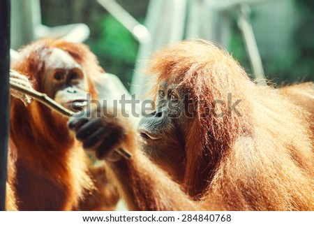 Funny portrait of smart ape (orangutan) getting some food using a stick with funny expression. - stock photo