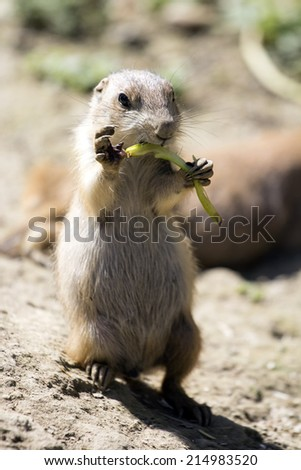Funny Prairie Dog eating vegetables. - stock photo