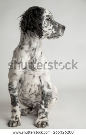 Funny profile portrait of a puppy english setter - stock photo