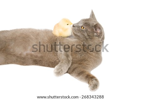 Funny profile portrait of little chick kissing chartreux cat. Animals and pets isolated on white background. - stock photo