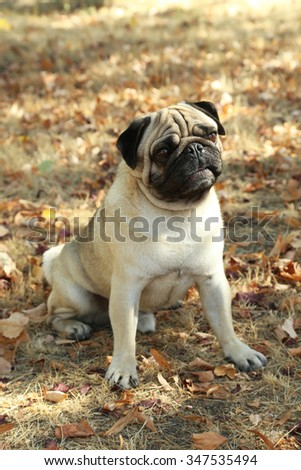 Funny pug dog in the autumn park, outdoor