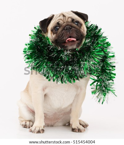 Funny Pug dog isolated in whit background