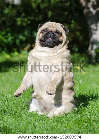 Funny pug dog on the grass