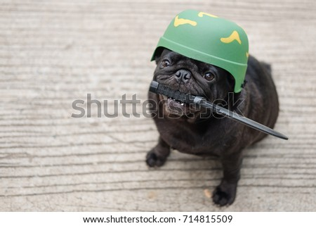 Beautiful Pug Army Adorable Dog - stock-photo-funny-pug-dog-wearing-soldier-costume-funny-pug-dog-wearing-soldier-helmet-on-concrete-road-714815509  Image_4110049  .jpg