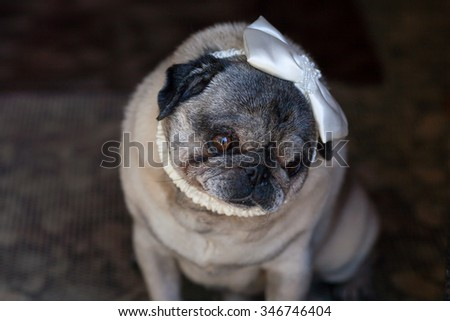 Funny pug dog with a bow