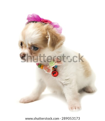 funny puppy Chihuahua in a pink hat