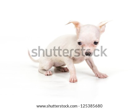 Funny puppy Chihuahua poses on a white background