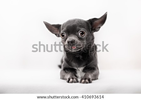Funny puppy Chihuahua poses on a white background - stock photo