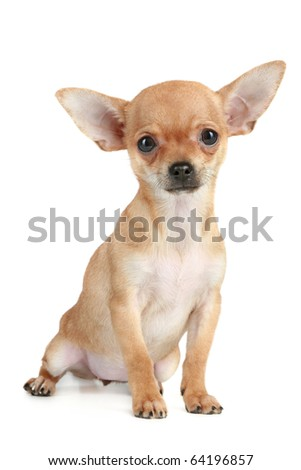 Funny puppy chihuahua sits on a white background - stock photo
