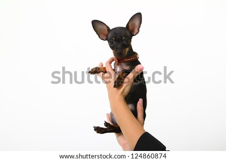 Funny puppy chihuahua with brown collar in female hands - stock photo