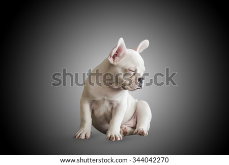 funny puppy french bulldog in front of black background - stock photo
