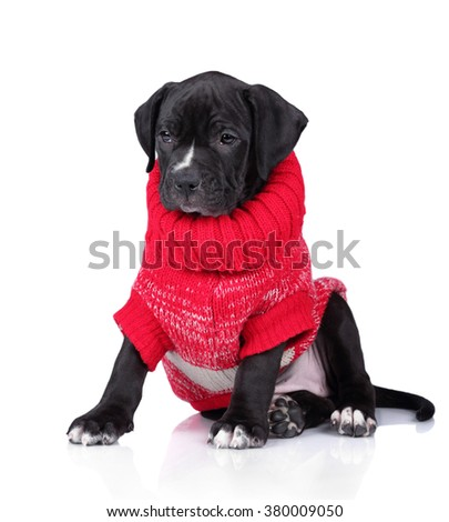 Funny puppy in a red sweater on a white background - stock photo