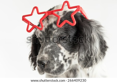 Funny puppy of english setter with red stars sunglasses over his head. White background - stock photo
