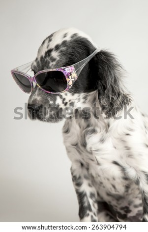 Funny puppy of english setter with sunglasses. white background - stock photo