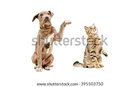 Funny puppy pit bull and curious cat Scottish Straight isolated on white background - stock photo