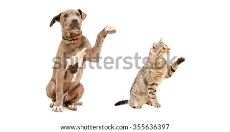 Funny puppy Pitbull and cat Scottish Straight isolated on white background