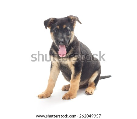Funny puppy shepherd dog isolated on a white background