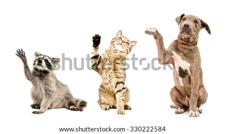 Funny raccoon, cat and puppy sitting together isolated on white background