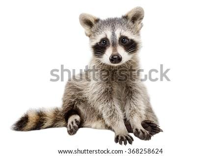 Funny raccoon sitting isolated on white background - stock photo