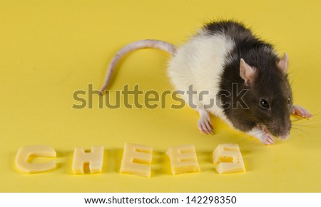 Funny rat eating the last letter of the word CHEESE (made of cheese) - stock photo