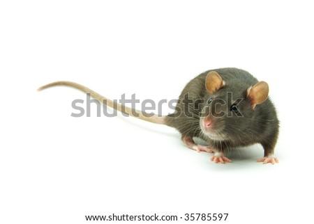 funny rat  isolated on white background - stock photo