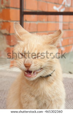 Funny red cat yawning