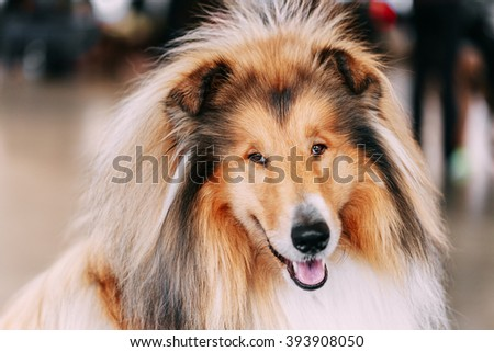 Funny Red Rough Collie Dog Close Up Portrait. Shetland Sheepdog, Sheltie, Collie Dog. - stock photo
