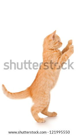 Funny redhead cat standing, isolated on white - stock photo
