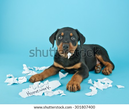 Funny Rottweiler puppy that looks like he is eating someone's homework on a blue background with copy space. - stock photo