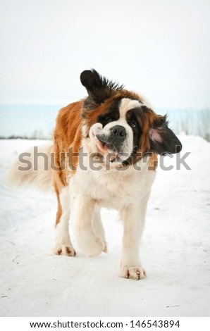 Funny saint bernard in winter - stock photo