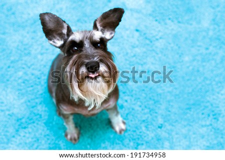 Funny schnauzer with raised ears and tongue sticking out - stock photo