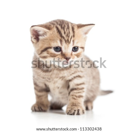 funny Scottish british kitten on floor - stock photo
