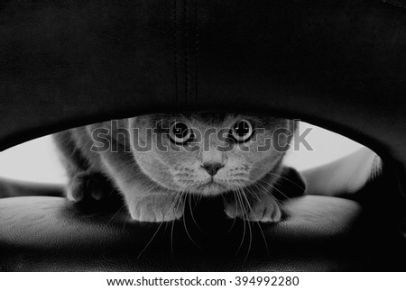 Funny Scottish cat with big round eyes looking through a hole (in black and white, retro style) - stock photo