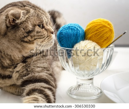funny scottish fold cat look and wants to play with a balls of wool yarn, which lie like eating ice cream dessert - stock photo
