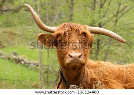 funny scottish highland-cattle - stock photo