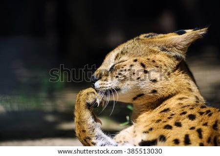 Funny serval cat - stock photo